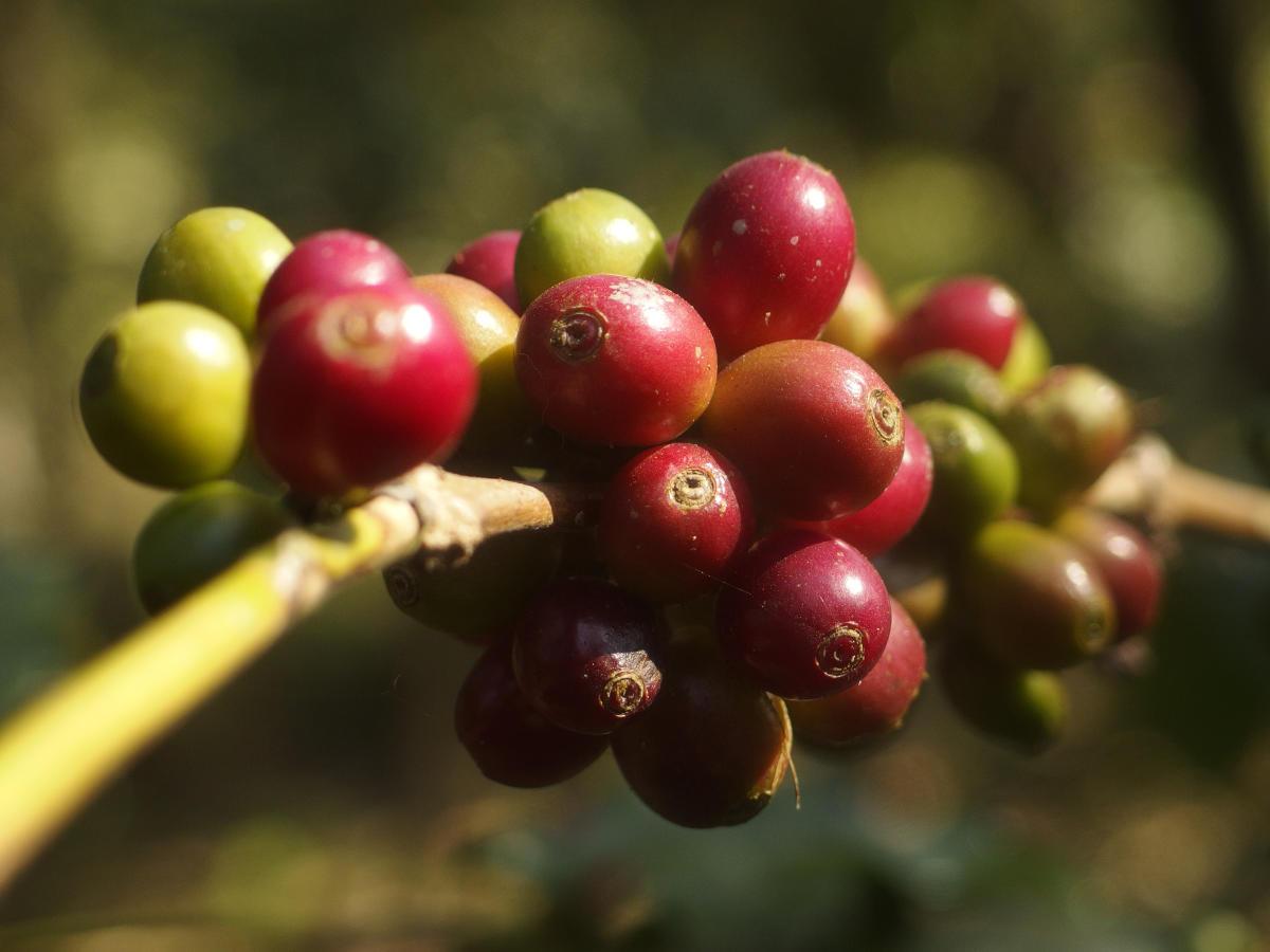 Crop grown in Kodagu, C'magaluru, Bababudangiri among 5 varieties being considered for the GI tag.