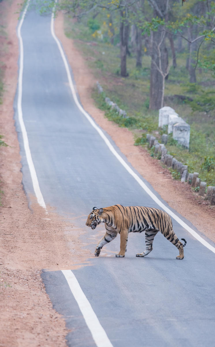 Tiger crossing Mysore – Mananthavadi highway in Nagarahole National Park. Photo by Pruthvi B