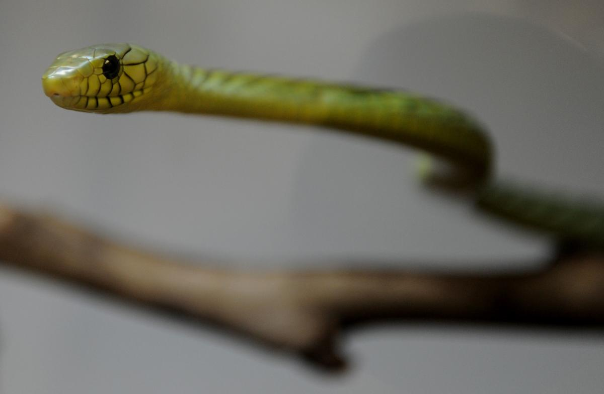 A venomous West African Green Mamba snake. AFP file
