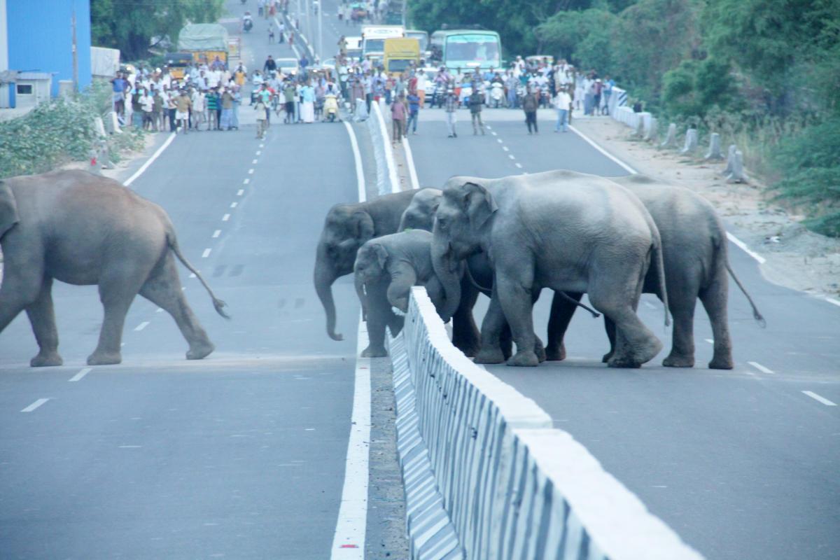 Highways through wildlife habitats impede movement of animals. Photo by T Gunasekaran