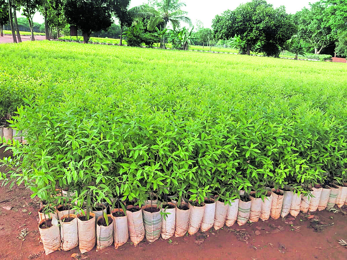 According to the Forest officials, as many as six lakh sandalwood saplings have been supplied this year, as compared to last year's two lakh.
