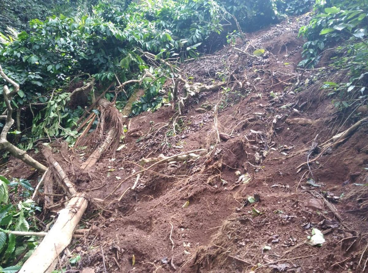 Coffee plants damaged by elephants at Moolarahalli in Mudigere taluk.