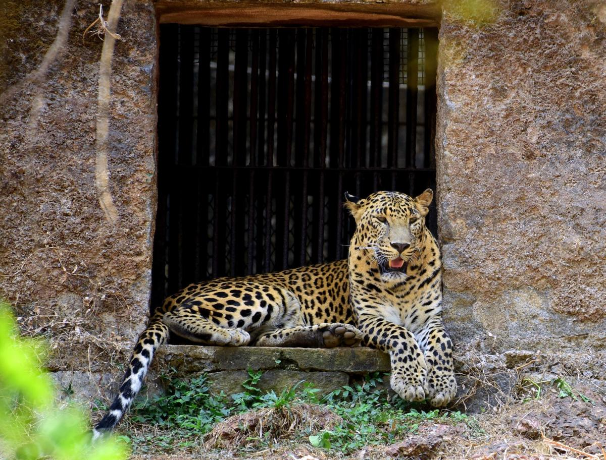 A Leopard resting near its cave. DH file photo