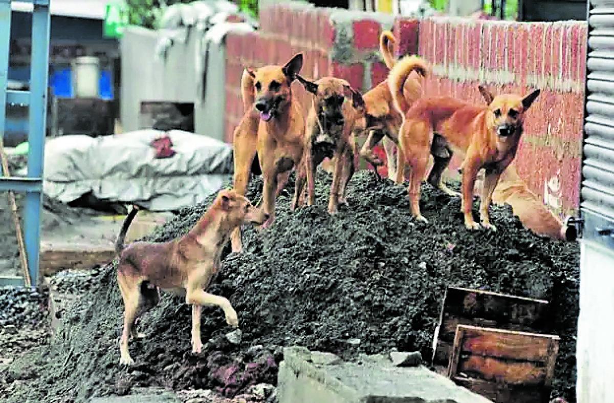 Dogs rule the streets of Aldur, Chikkamagaluru.