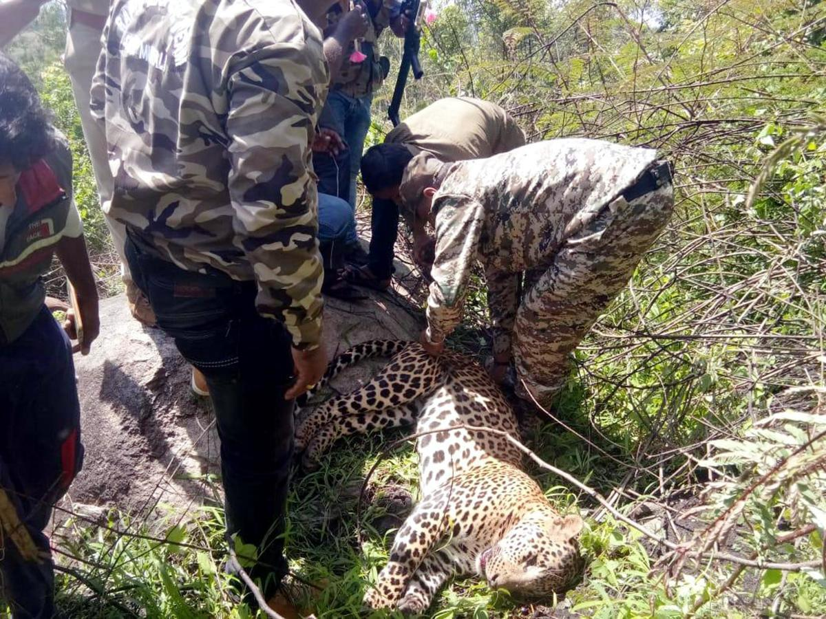 The Forest Department officials rescue a male leopard that caught in a snare trap, in Dasanapur village in Arkalgud, Hassan, on Tuesday.