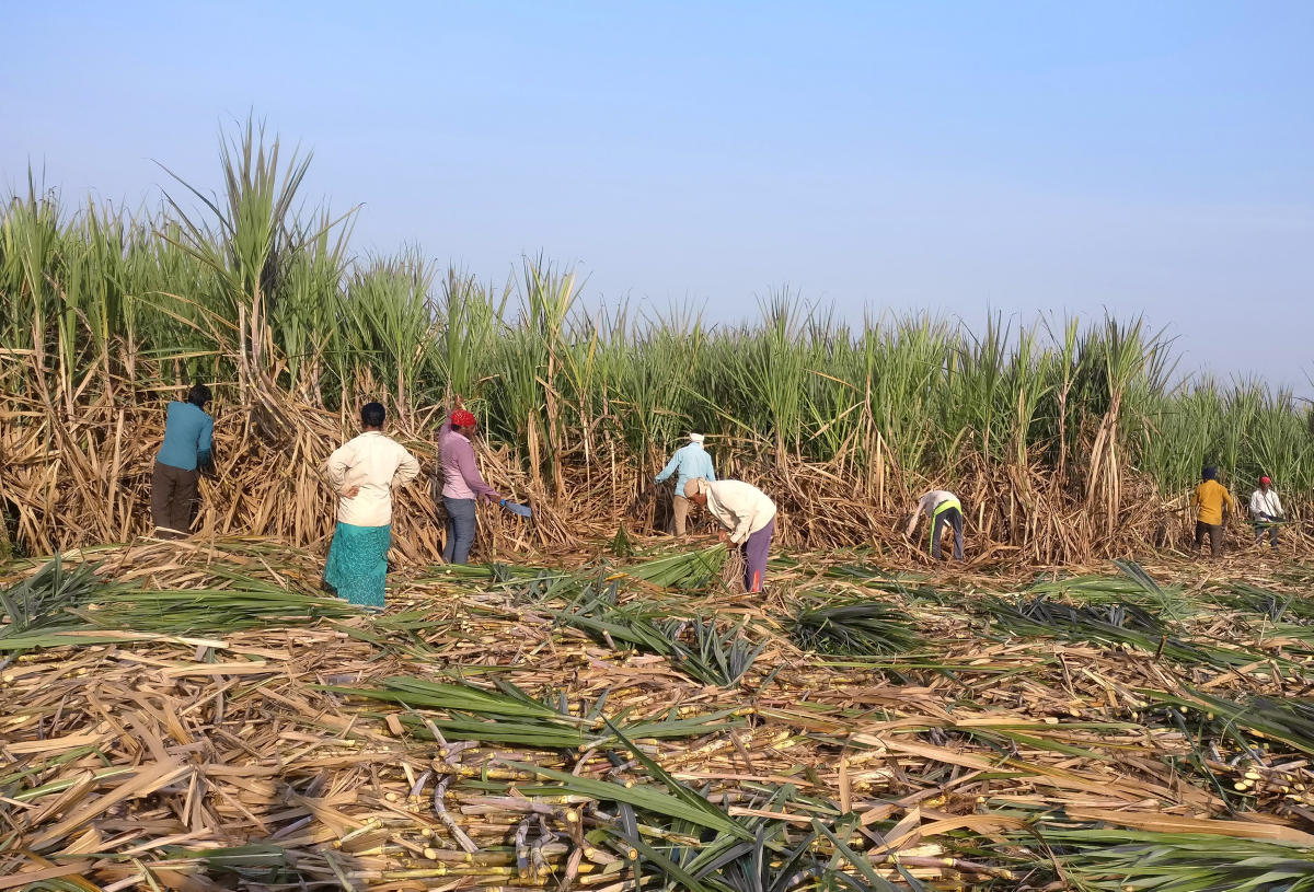 Sugarcane growers had launched an indefinite protest in front of the deputy commissioner's office in Belagavi demanding factories settle their dues and announce purchase price for the current crushing season. Reuters file photo