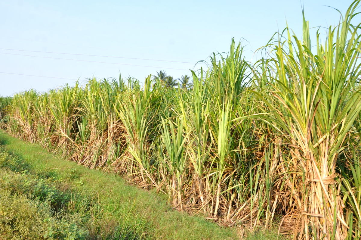 Ready-to-harvest sugarcane at a farm in Belagavi district.