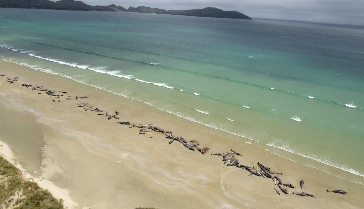 A supplied image shows around 145 pilot whales that died in a mass stranding on a beach on Stewart Island, located south of New Zealand's South Island, November 25, 2018. Picture taken November 25, 2018. (New Zealand Department of Conservation/Handout via
