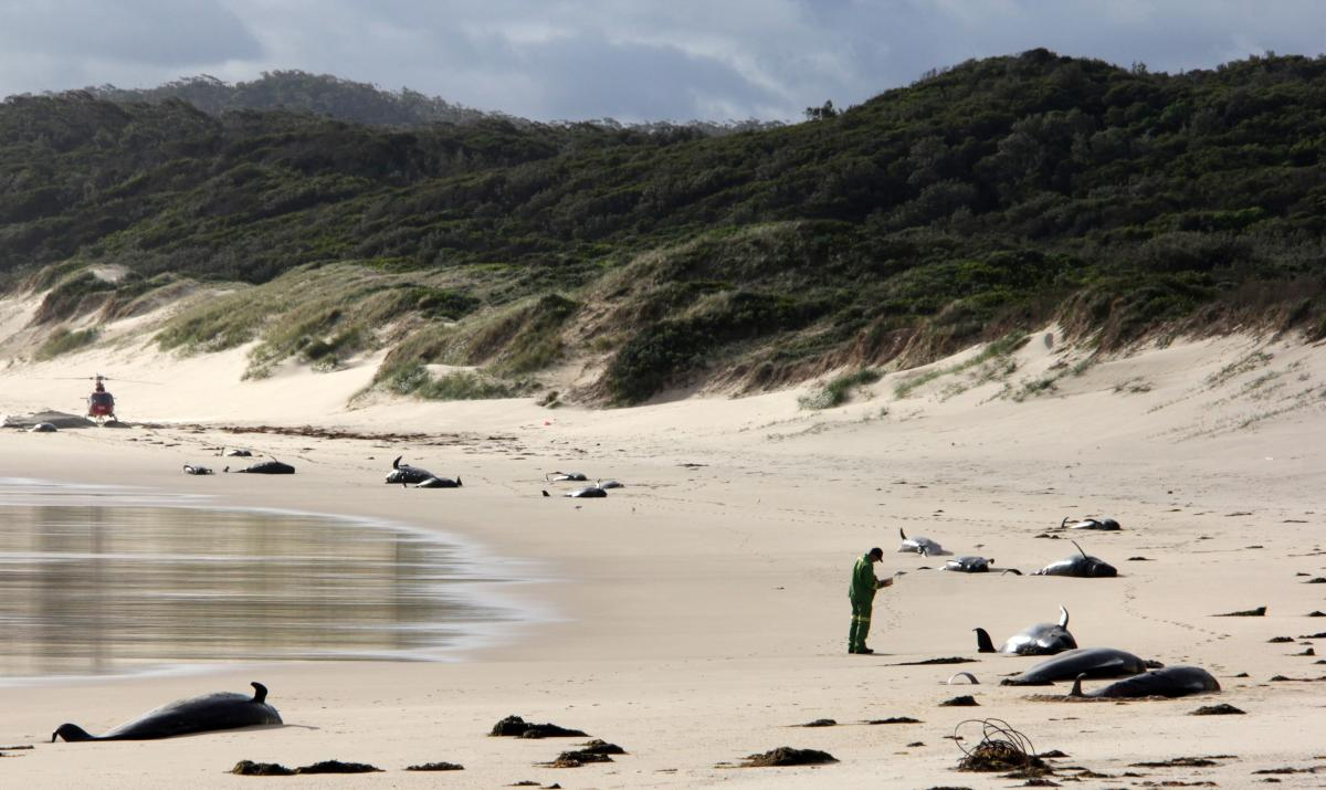 Dead whales on a beach in Croajingolong National Park in Victoria state of Australia on November 28, 2018. AFP