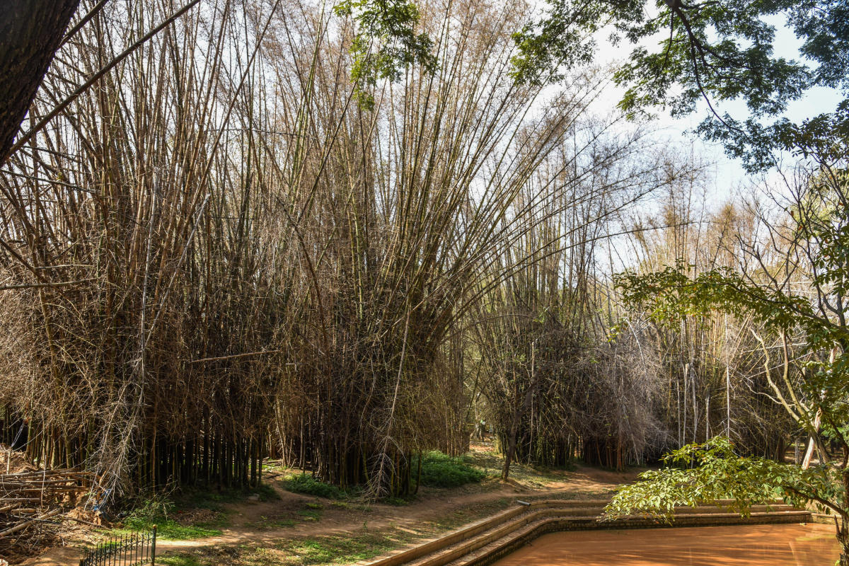 Dry Bamboos at Sri Chamarajendra Park (Cubbon Park) in Bengaluru on Friday. Dh Photo /S K Dinesh