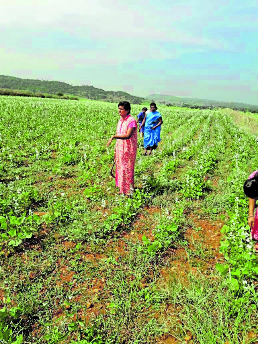 Transgenders engage in farming at Udeva village of Lingadahalli in Tarikere taluk.