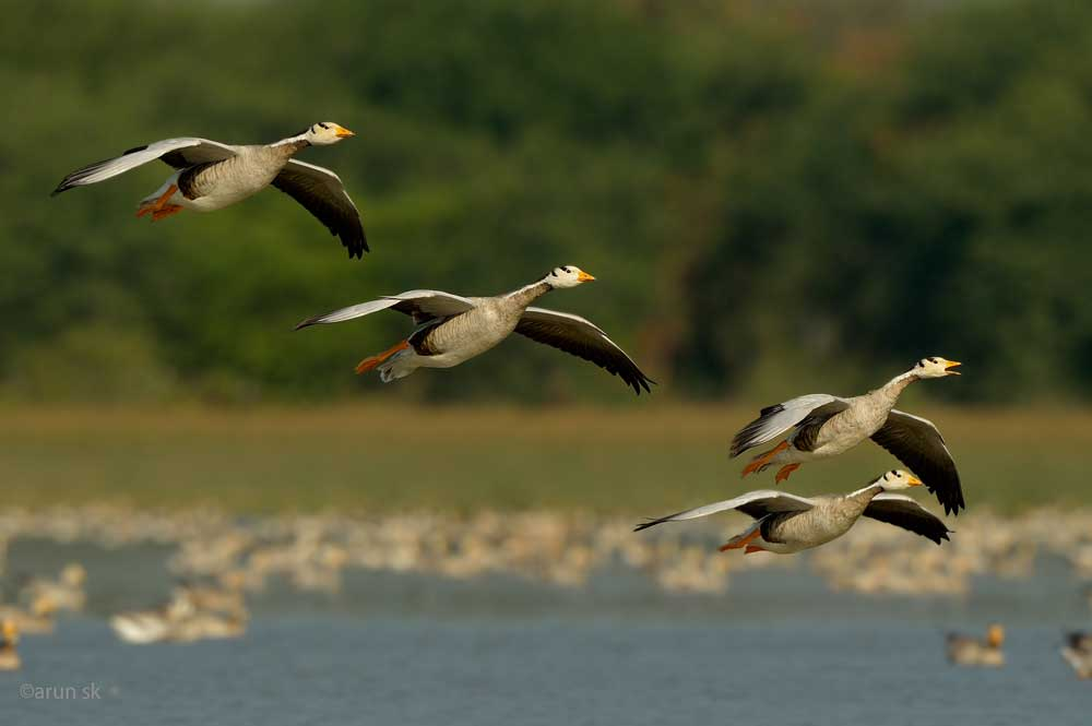 Medical reports have confirmed that pesticides used by green-gram farmers around the famous Magadi lake in Shirahatti taluk of Gadag district has resulted in the death of at least four bar-headed geese, a migratory bird from Mongolia. Photo credit, Dr S K Arun