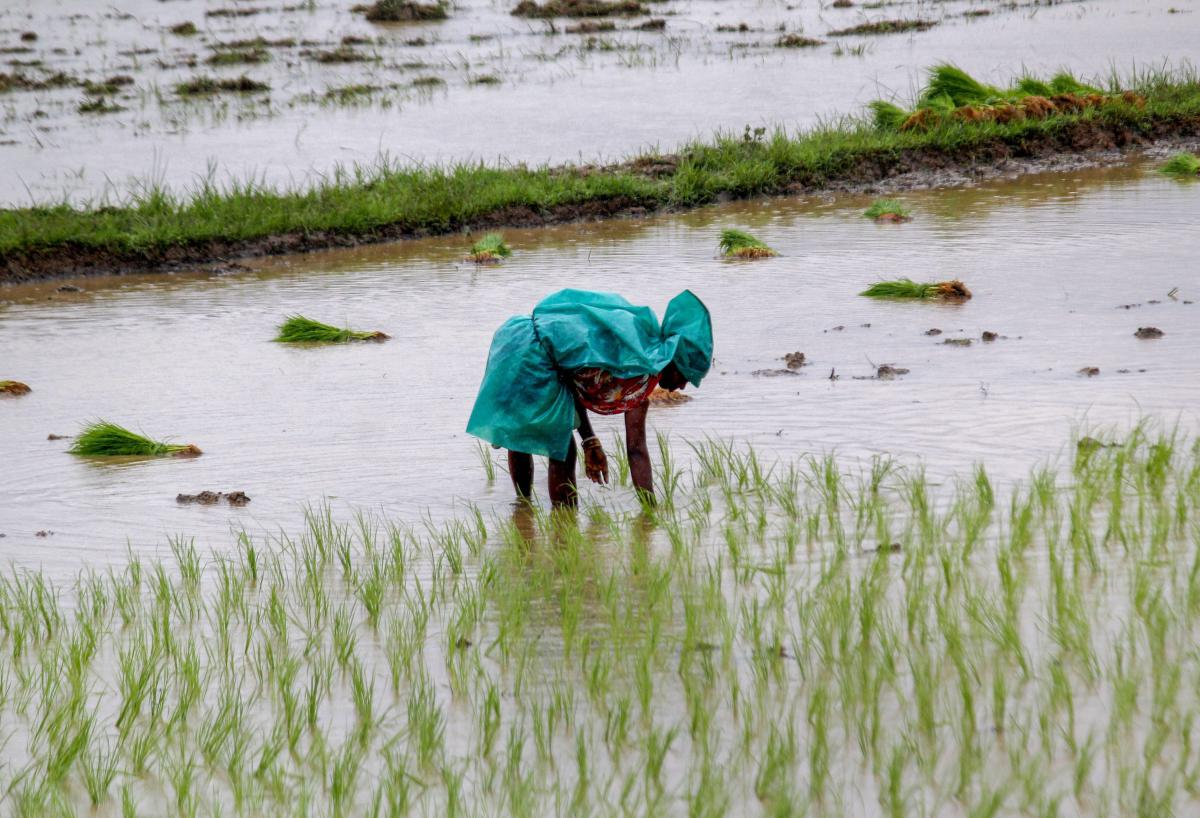 Paddy farmers in Dakshina Kannada are worried over the loss of crops due to brown planthopper affecting paddy crops. PTI file photo
