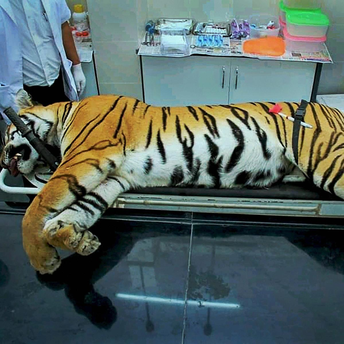 Post-mortem of the mortal remains of T1, aka Avni, a five-year-old tigress who was shot dead in the forests of Pandharkawda, being performed at the Gorewada Rescue Centre in Nagpur, on Nov 3, 2018. PTI