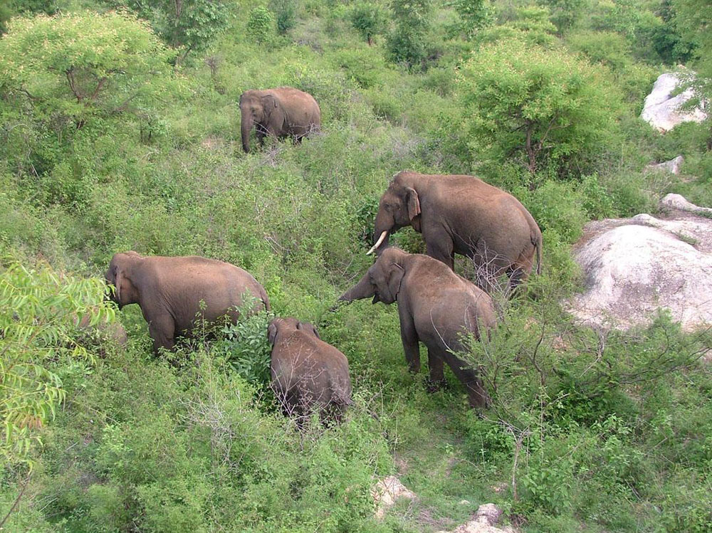 Karnataka has the highest number of elephants in the country (with more than 6,000 in number), the chief minister said adding that experts from other states may be called in, if need be, to help to find a solution for the issue. (File Photo)