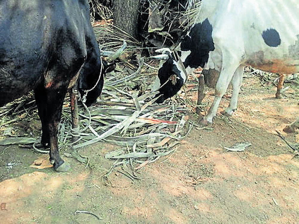 Even though there are norms to check stray animals, neither the MCC officials nor the cattle owners, are bothered. Most of the accidents occur during night hours, as some roads lack street lights. (DH File Photo)