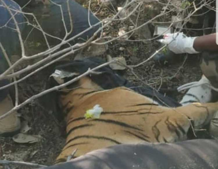 The female cub was caught on Saturday while an operation is still underway to secure the male cub. DH Photo