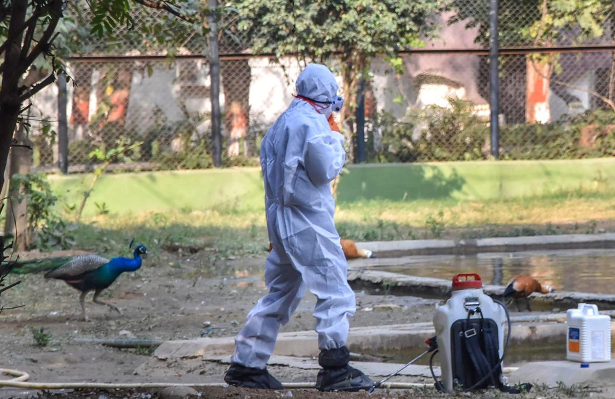 A zoo staff member covers himself while spraying chemicals as part of preventive measures against bird flu (H5N1 avian influenza virus) after six peacocks were found dead under mysterious circumstances, at the Patna zoo, Tuesday, Dec 25, 2018. (PTI Photo)