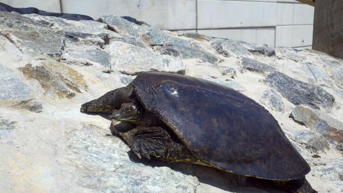 blact softshell turtle