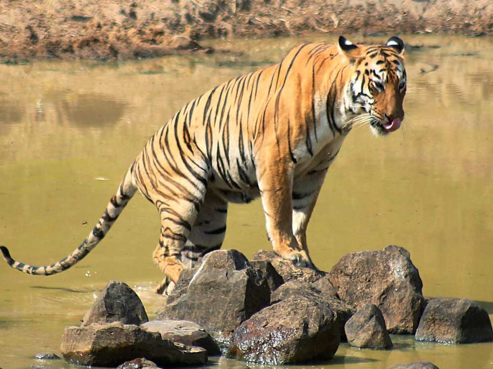 Karnataka is all set to get its sixth tiger reserve, with the State Wildlife Board deciding to propose to the Centre to notify Malai Mahadeshwara Hills Wildlife Sanctuary (MM Hills) distinguished tag. PTI file photo