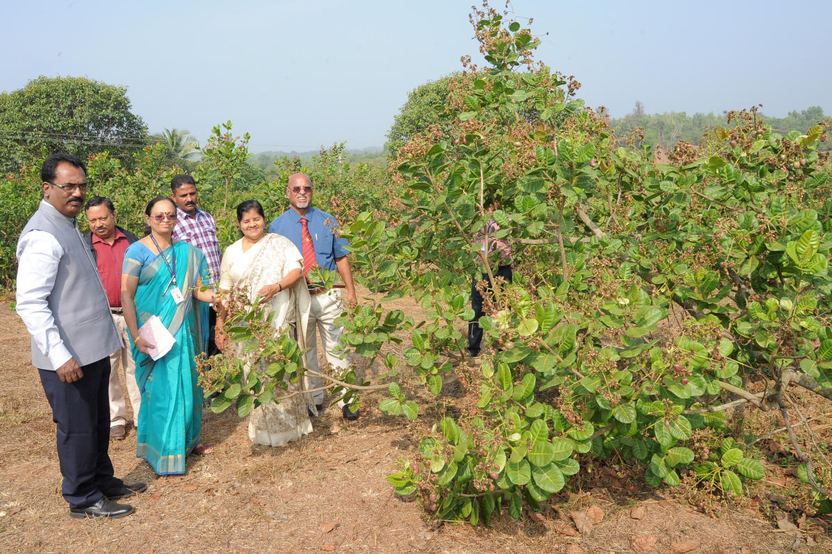 Kerala Minister for Fisheries, Harbour Engineering and Cashew Industry J Mercykutty Amma, CPCRI Kasargod In-charge Director Dr Anitha Karun and others at the cashew orchards of ICAR-Directorate of Cashew Research, Puttur, on Tuesday.