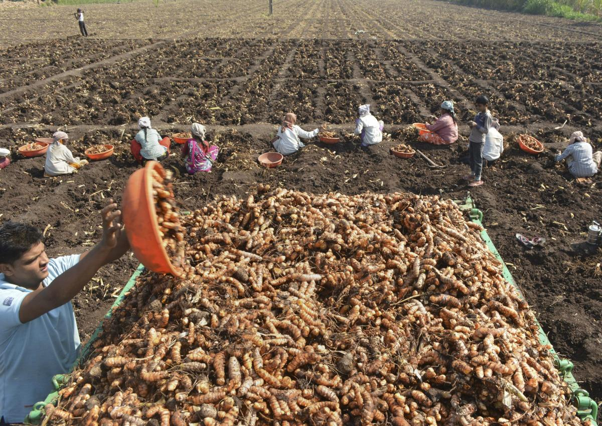 A farmer loads raw turmeric on a tractor while harvesting a field at Vadgaon village, in Karad. PTI