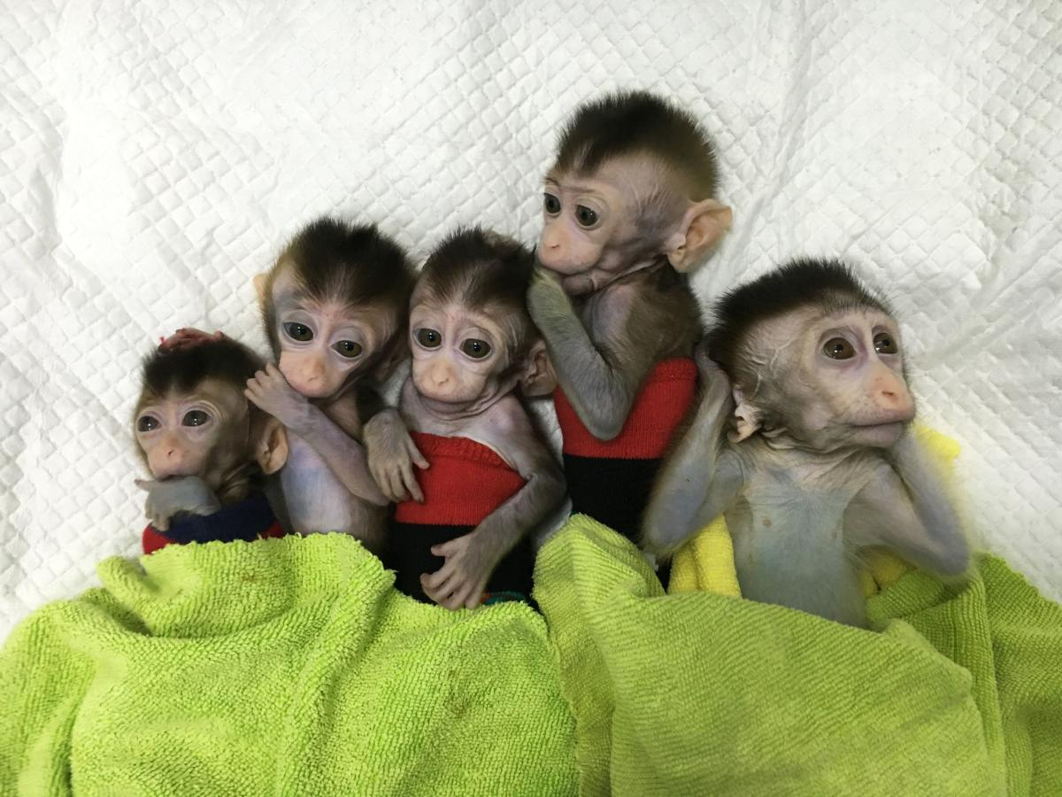 """A research team from the Institute of Neuroscience at the Chinese Academy of Sciences in Shanghai said it had altered the genes of a macaque to give it circadian rhythm disorder, in which the body's """"clock"""" is out of sync with normal sleep times. AFP Photo"""