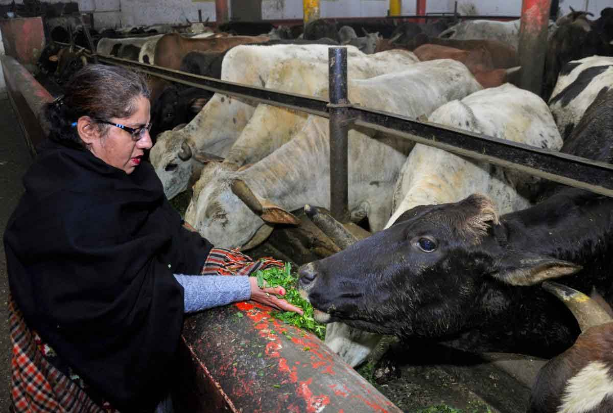 A woman feeds cows at a Gaushala (cow shelter) in Amritsar, Friday, Feb 1, 2019. Finance Minister Piyush Goyal has earmarked a fund of Rs 750 crore for the Rashtriya Gokul Mission in his budget speech. (PTI Photo)