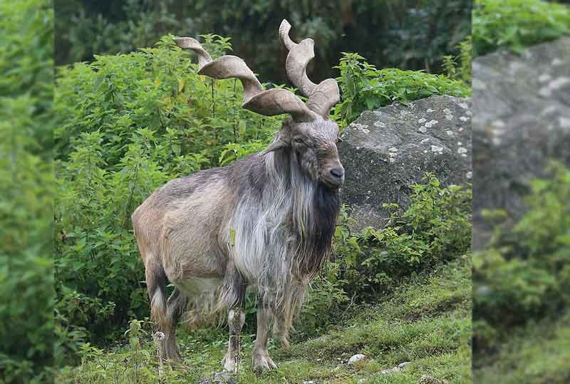 Markhor, a distinctive species of wild goat identified by its long hair and spiralled horns, is a protected species in Pakistan unless permitted by the government to kill it under trophy hunting programmes. (Image source: Wikimedia Commons)