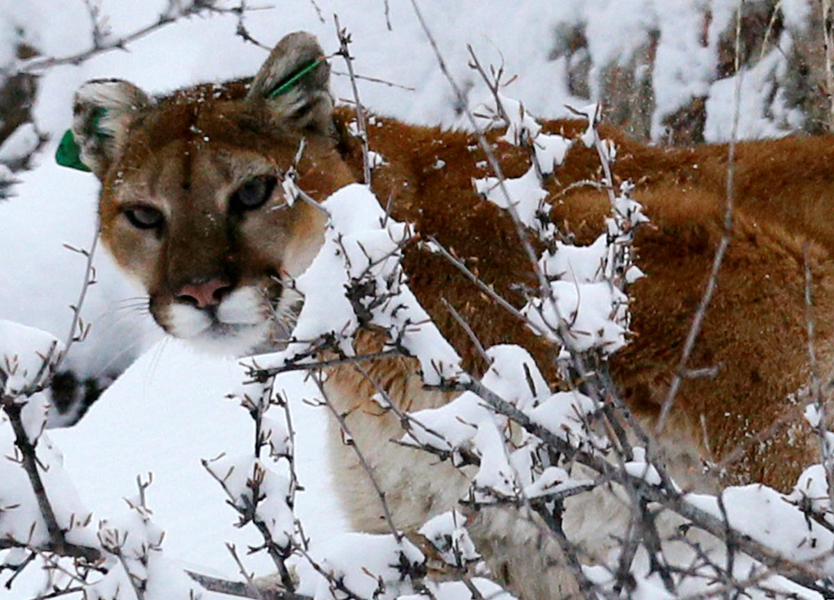 A Colorado jogger strangled a juvenile mountain lion in the foothills of Horsetooth Mountain northwest of Denver, acting in self-defence after the predator attacked him, authorities said on Tuesday. Reuters file photo