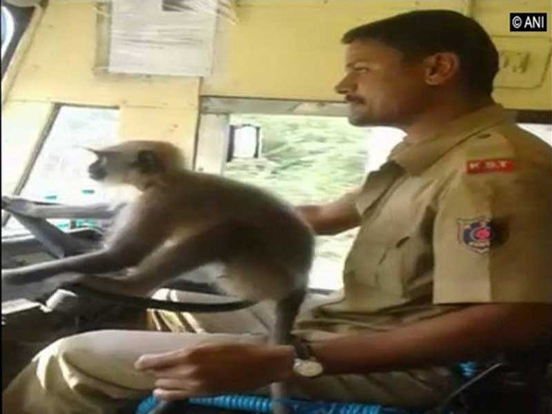 Driver M Prakash, 36, while driving the bus between Davangere-Anaji-Bharamasagar made the monkey to sit on the steering and handle it on October 1. (Image courtesy ANI/Twitter)