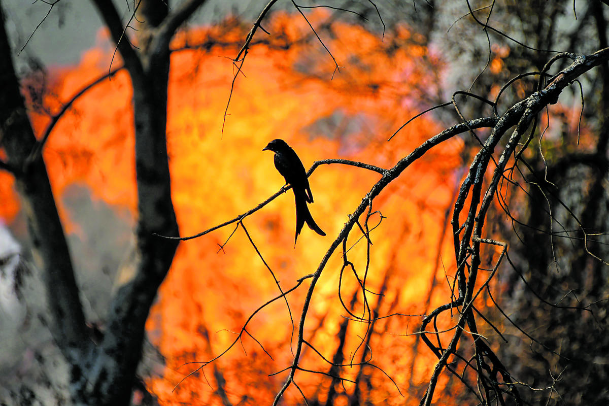 Vast tracts of forest land were burnt in the recent massive fire at Bandipur Tiger reserve. PTI File Photo
