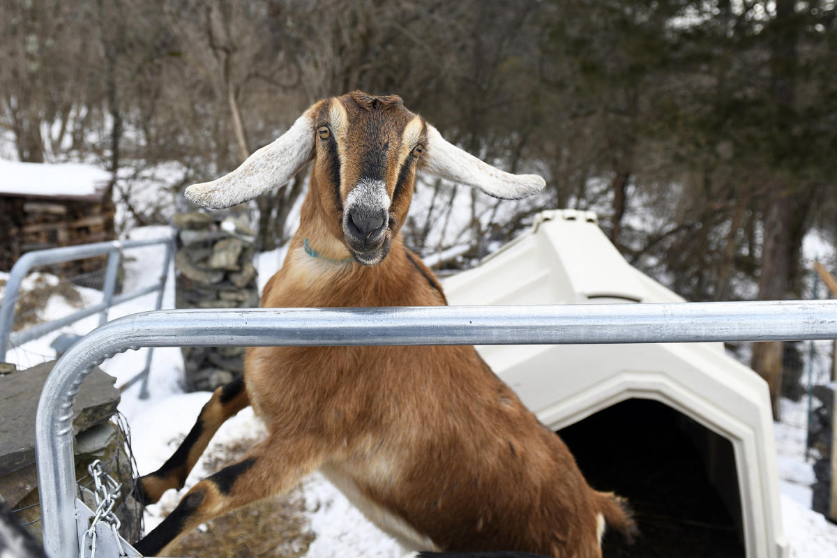 He may be a political novice but the goat's name, Lincoln, brings with it a storied pedigree. (AFP Photo)