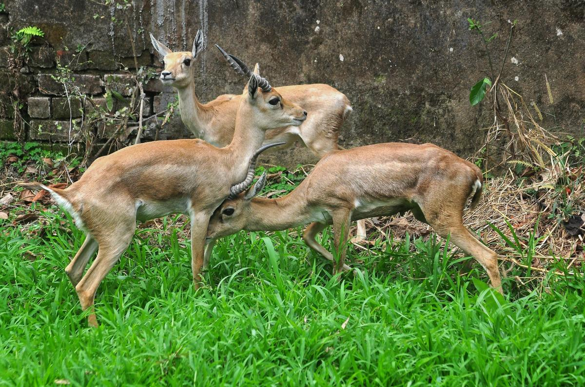 Three blackbucks (Antilope cervicapra) brought from Mysore Zoo released at Assam State Zoo during an Animal Exchange Programme, in Guwahati on Monday. PTI Photo for representation.