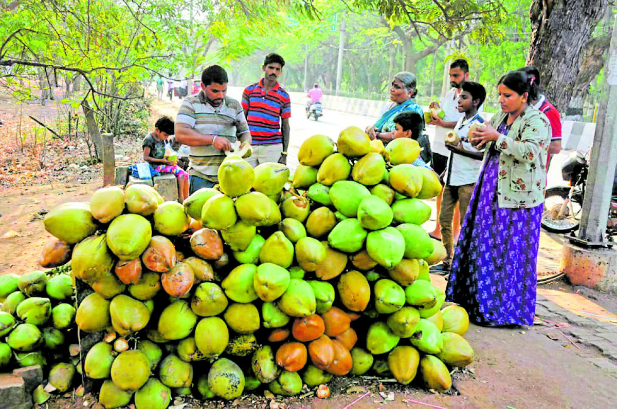People consume tender coconuts to beat the heat in Mysuru on Monday.
