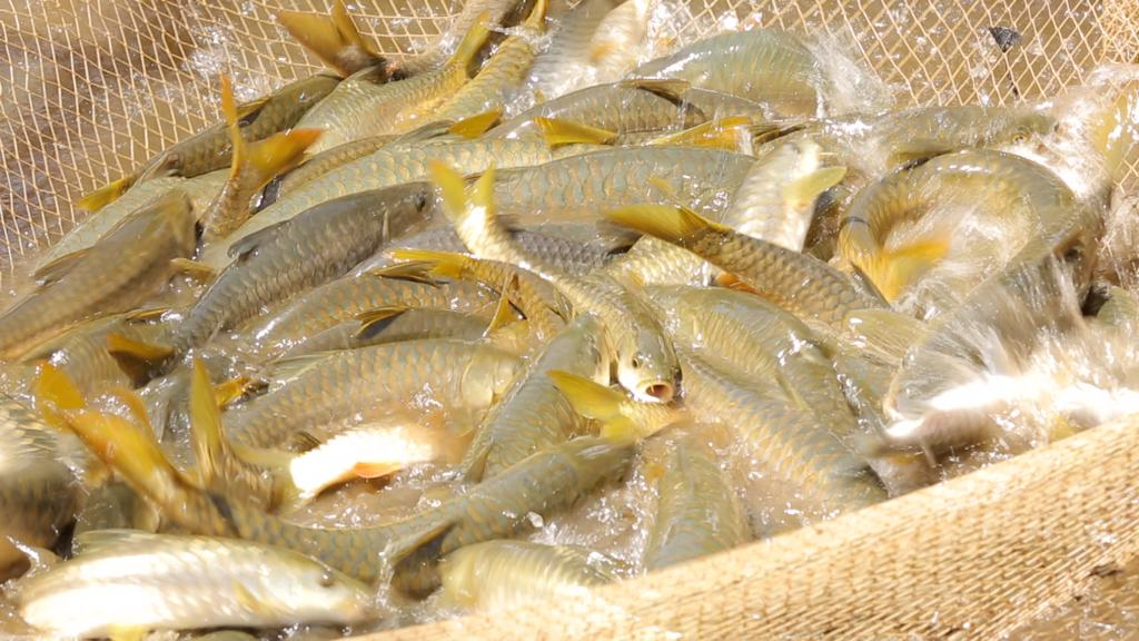 "Mahseer still figures in the ""endangered"" species of IUCN. (Photo: DHNS)"