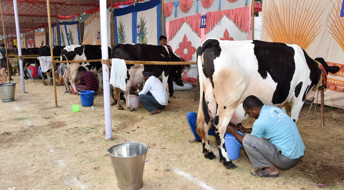 BJP MLA: Cows yield more milk with spiritual flute