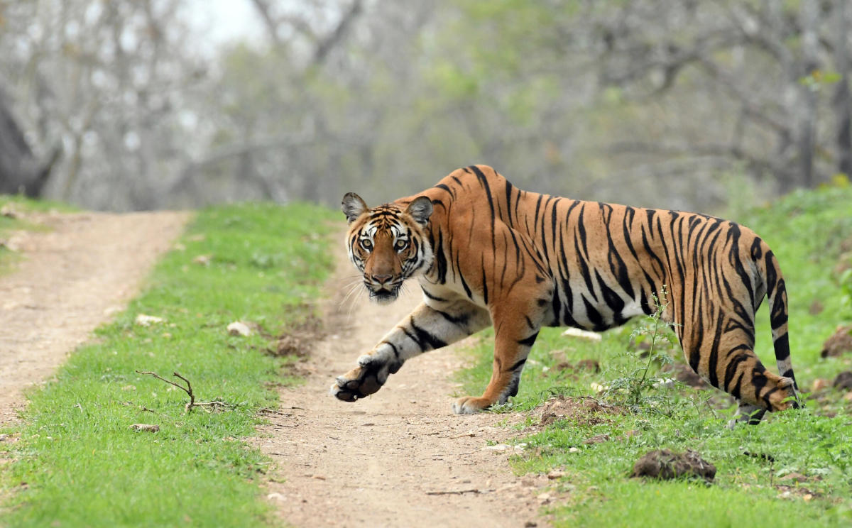 Tiger travels 200 km from Yavatmal to Hingoli farms