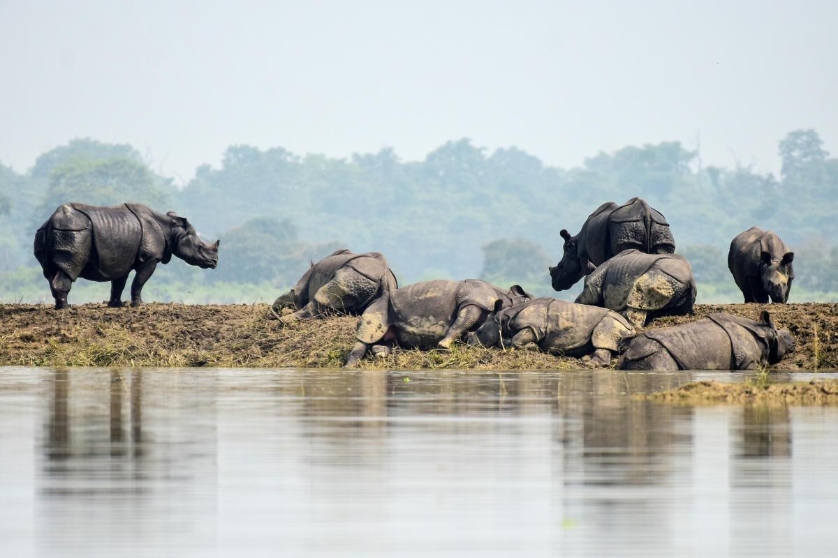 Rhino (s) resting on high lands in Kaziranga National Park