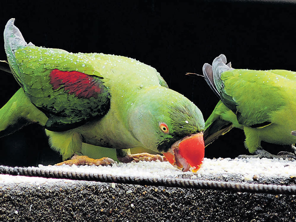 Rain or shine, parrots will never miss their food