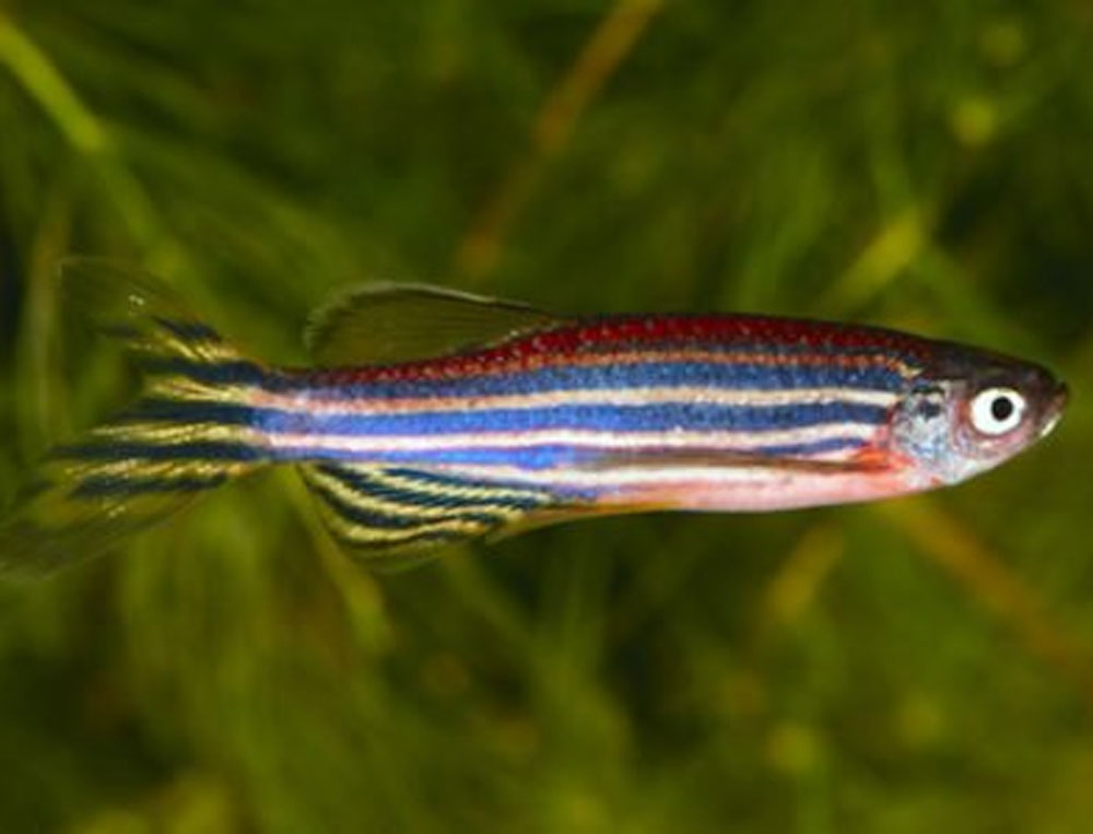 Fish eyes may hold key to blindness cure: study