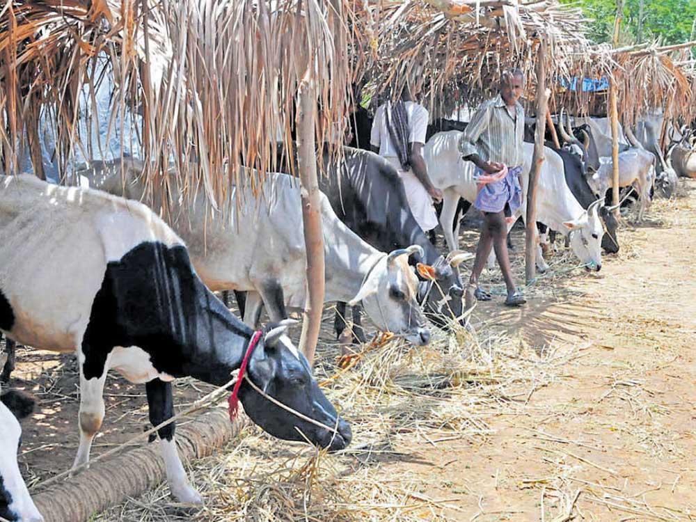 Cattle shed lacks proper facilities inKadur taluk