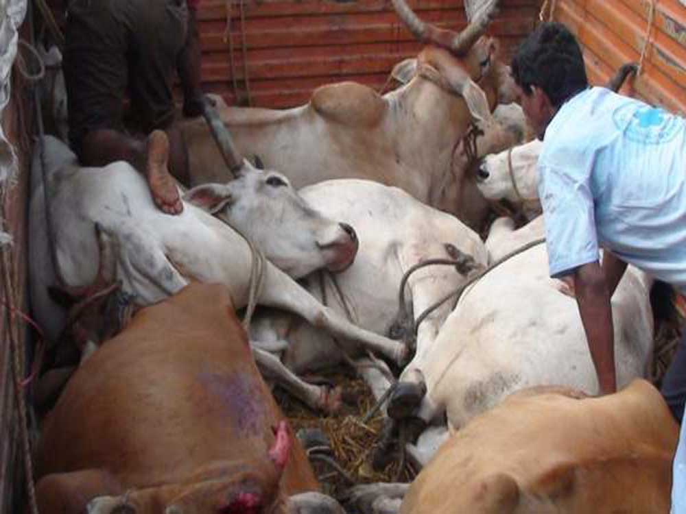 No fundamental right to insist on cow slaughter: HC