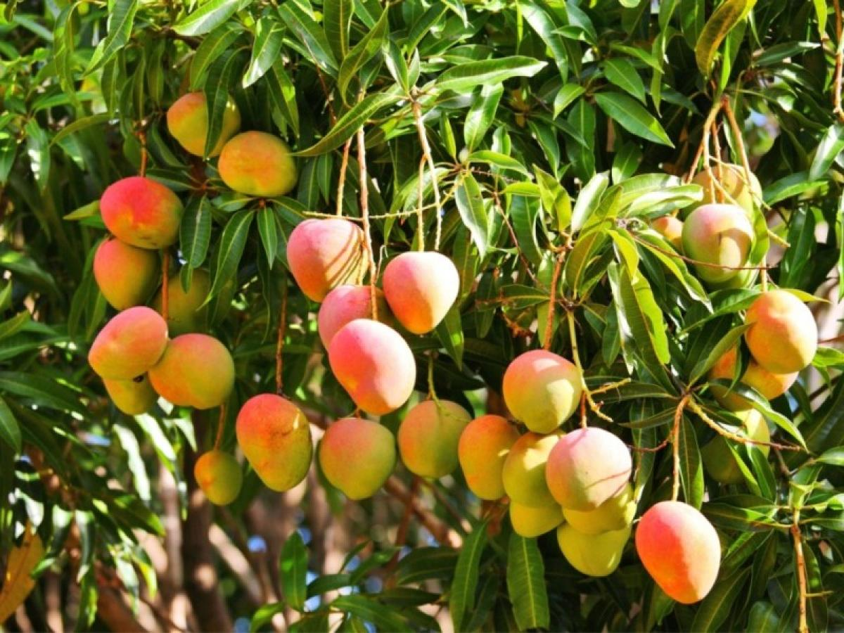 Rain effect: fewer and less delicious mangoes this year