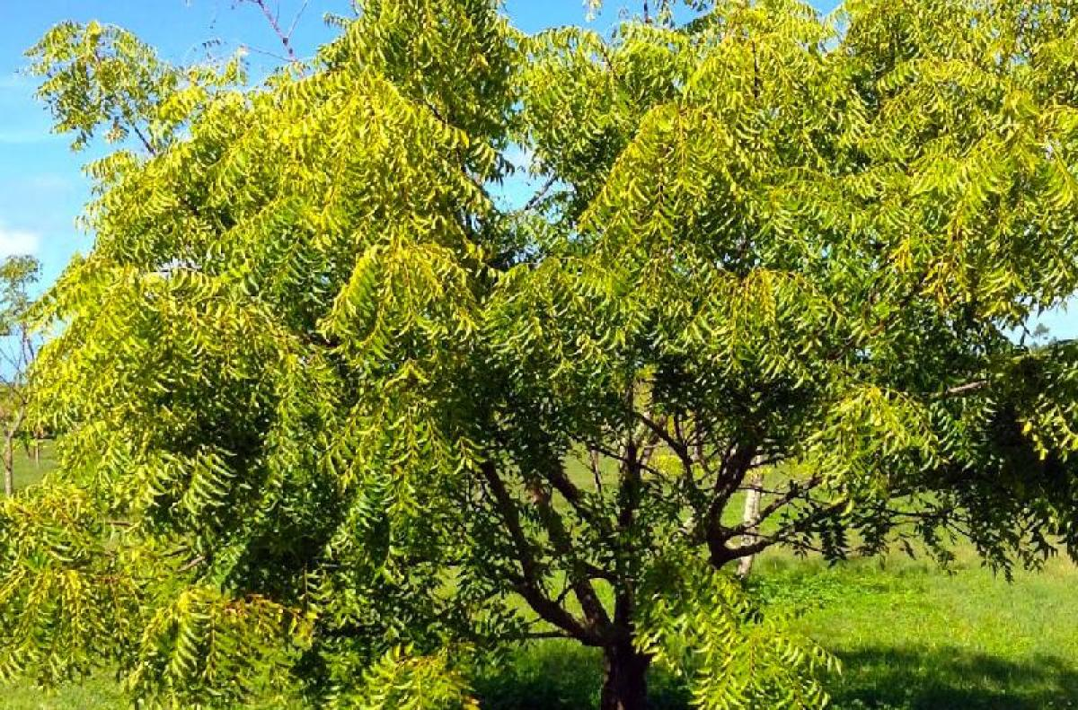 Scientists claim Neem compound may cure breast cancer | Deccan Herald