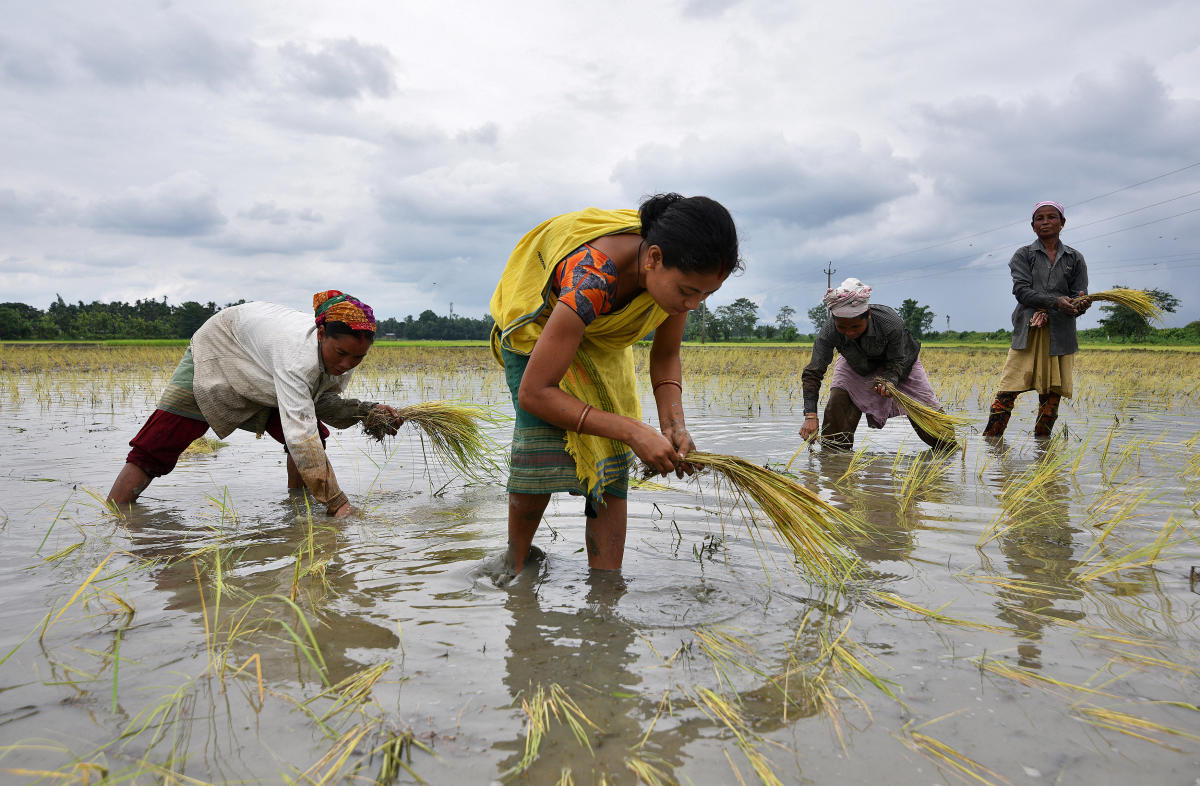 Women plant rice saplings at a paddy field in a village in Nagaon district, in the northeastern state of Assam. Reuters file photo for representation.