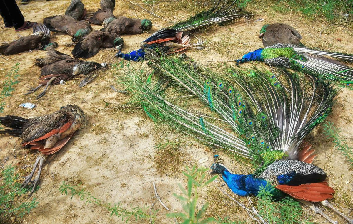 Peahens and peacocks found dead allegedly due to poisoning, near Kadachanendhal in Madurai on Saturday. PTI