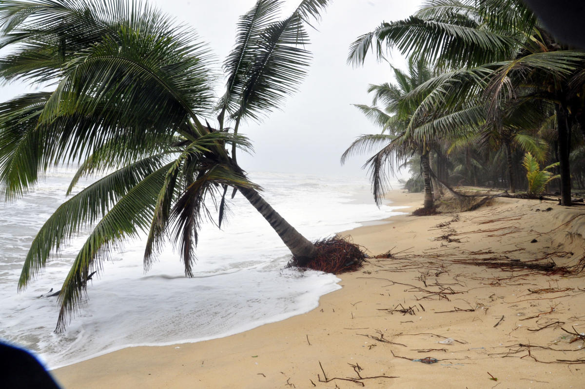 A coconut tree uprooted following sea erosion at Malpe Thottam in Udupi.