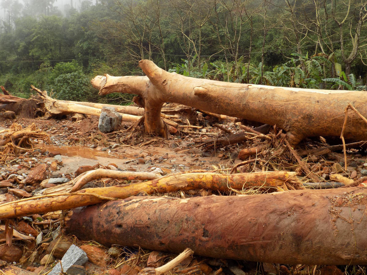 Wooden logs which have fallen on the banks of Payaswini river at Madenadu.