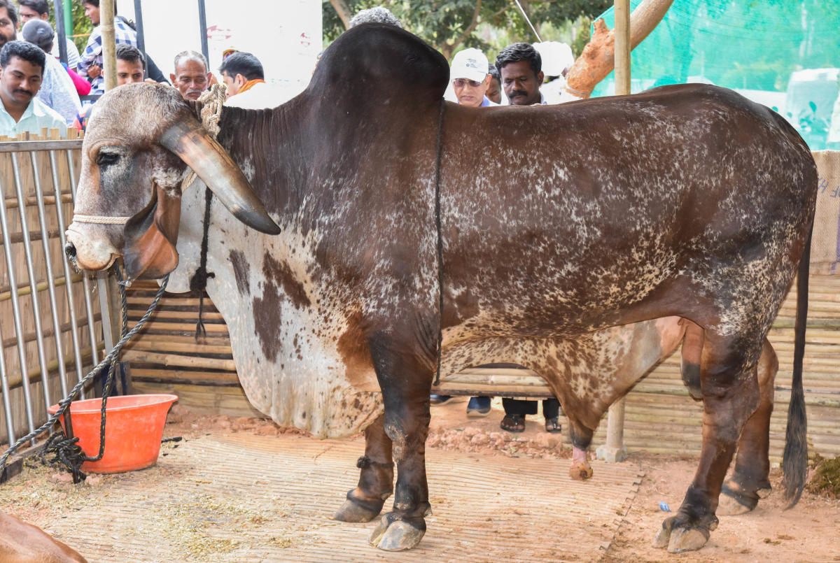 The Gir breed of a bull was a major attraction at the fair.
